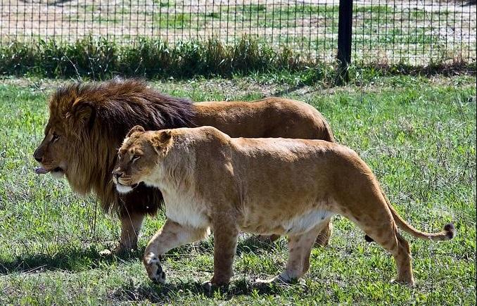 Белогорск парк львов Тайган