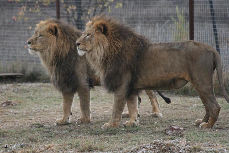 парк львов Тайган фото