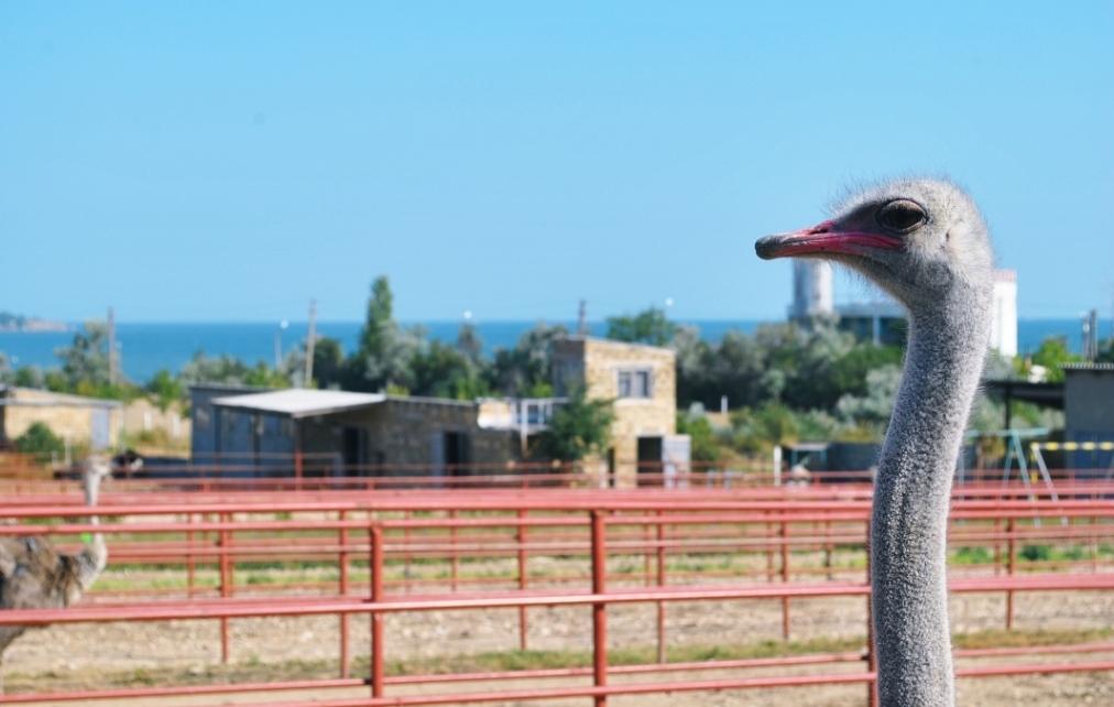 страусиная ферма крым