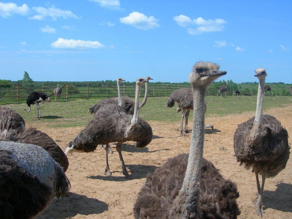 страусиные фермы в крыму
